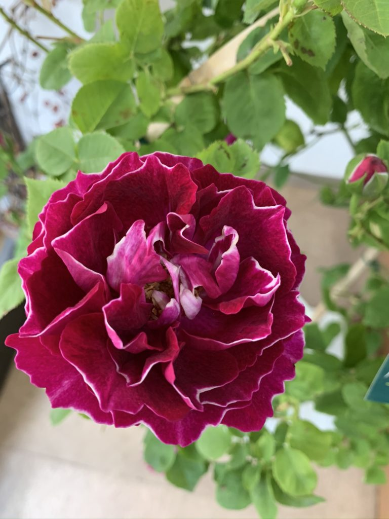 バラを育ててみませんか?